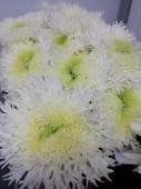 Хризантема одноголовая боула