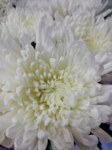Хризантема одноголовая вильгемина