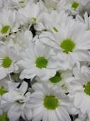Хризантема кустовая в ассортименте белая