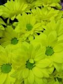 Хризантема кустовая в ассортименте желтая